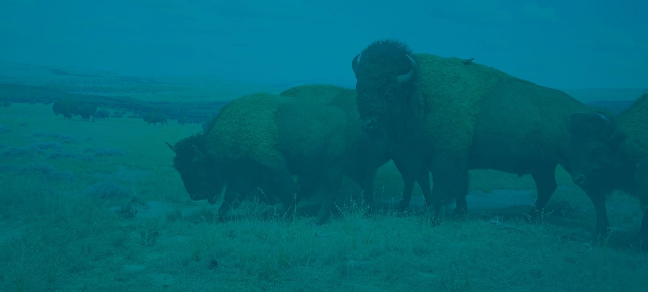 Buffalo Agency | Have You Herd Blog